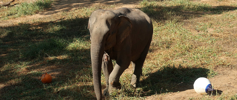 Elephant looking for treats